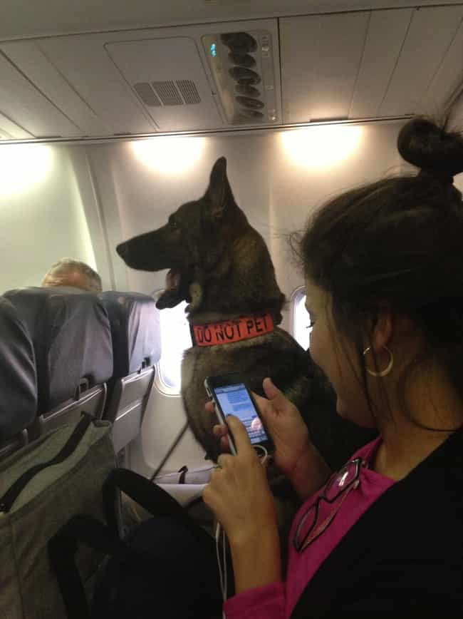 This K-9 Bomb Dog Gets Their O... is listed (or ranked) 2 on the list In-Flight Pictures Of The Best Passengers You Would Totally Share An Aisle With