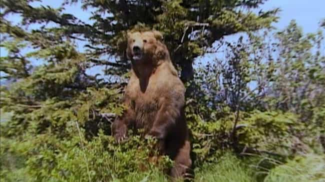 The Bear Ripped Treadwil... is listed (or ranked) 1 on the list The Strange Life And Tragic Death Of Grizzly Man, Timothy Treadwell