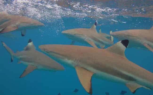 Many Sharks Die During F... is listed (or ranked) 2 on the list 12 Fascinating Facts Most People Don't Know About Shark Feeding Frenzies