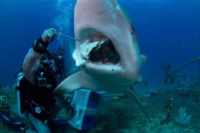 Sharks May Keep Eating E... is listed (or ranked) 3 on the list 12 Fascinating Facts Most People Don't Know About Shark Feeding Frenzies