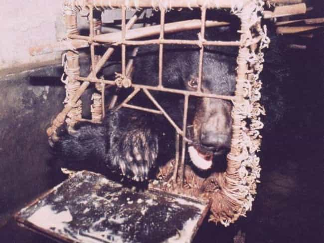 "Bear Bile Is A Cure-All In Som... is listed (or ranked) 1 on the list Animals Are Being Poached For Traditional ""Medicine"" That Has No Medicinal Value"