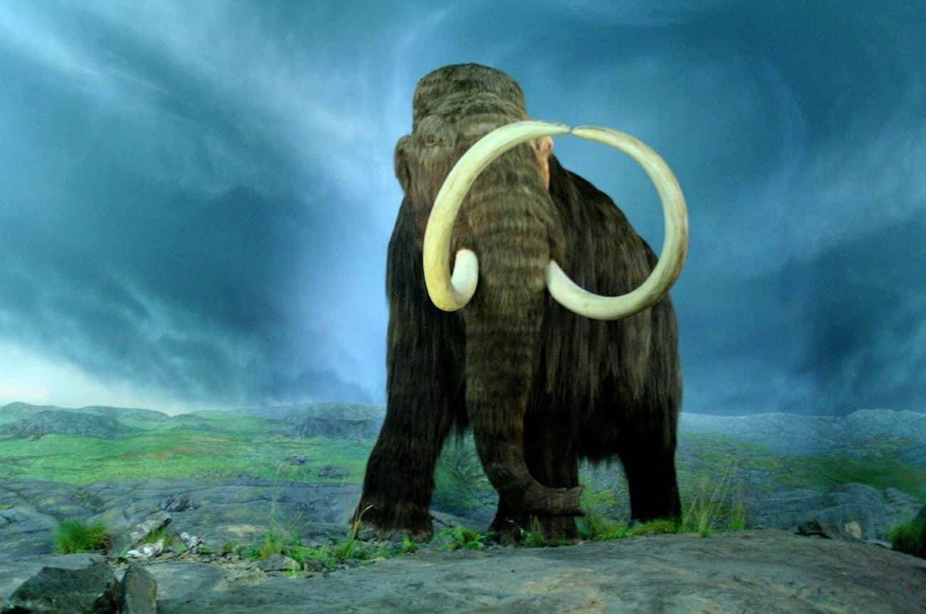 Mammoth Fossils Overwhelmingly is listed (or ranked) 3 on the list Facts About Woolly Mammoths That Might Explain Why They Became Extinct