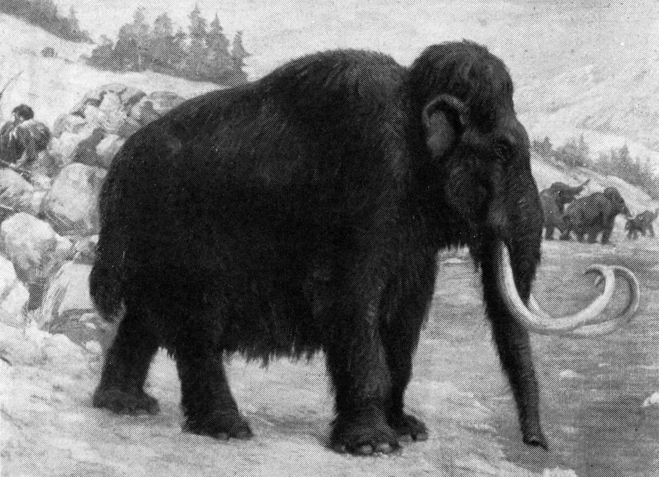 Males Would Wander Around Alon is listed (or ranked) 4 on the list Facts About Woolly Mammoths That Might Explain Why They Became Extinct