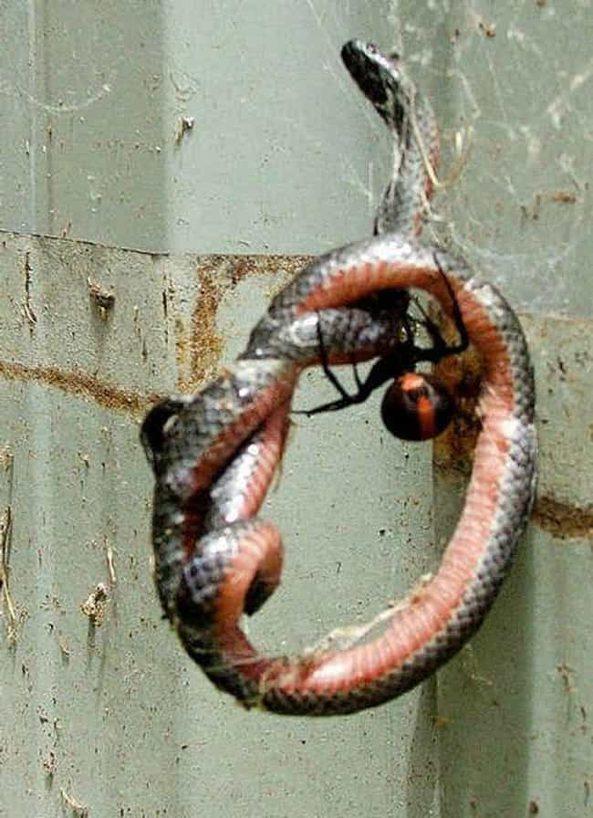 This Snake Never Stood A Chanc... is listed (or ranked) 1 on the list Horrifying Spiders Eating Things They Shouldn't And Freaking Us Out