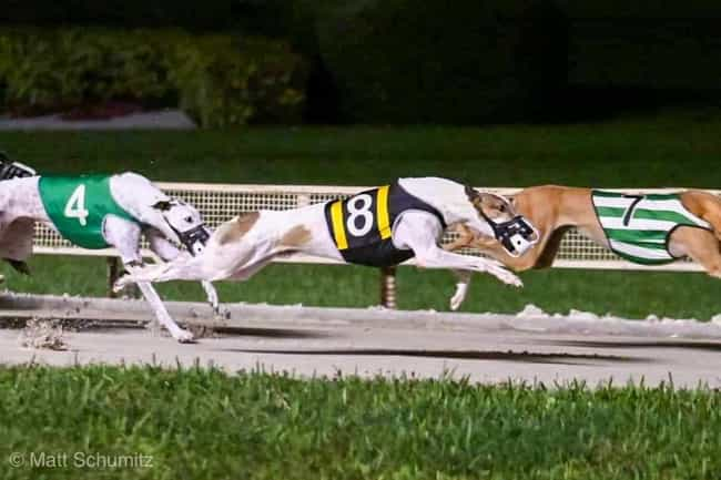 There Are More Than 1,00... is listed (or ranked) 1 on the list What Happens Behind The Scenes Of Greyhound Racing Will Horrify You