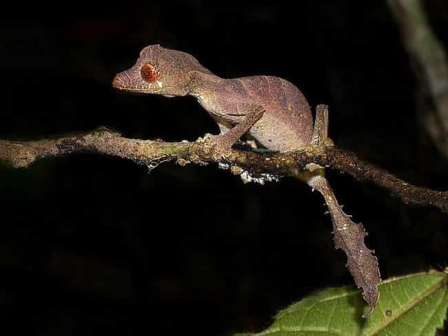 Satanic Leaf-Tailed Gecko is listed (or ranked) 4 on the list Insanely Cool Animals You Can Only Find In Madagascar