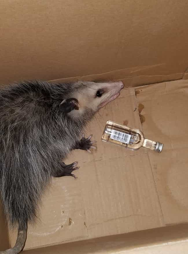 Opossum Breaks Into A Liquor S... is listed (or ranked) 1 on the list The 18 Most WTF Florida Stories of 2017 (So Far)