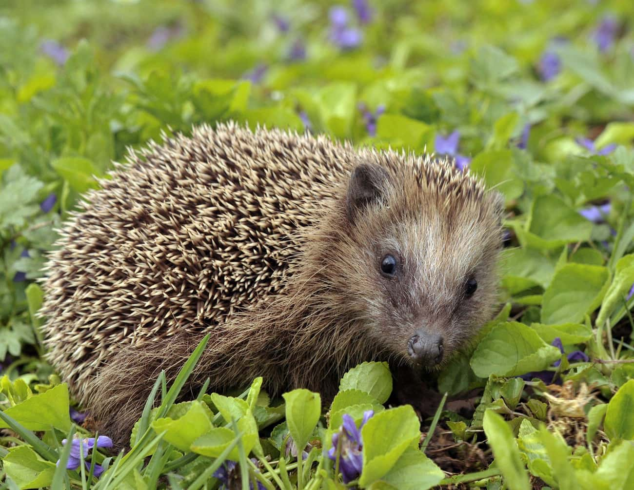 Hedgehogs Have Around 5,000 Sp is listed (or ranked) 1 on the list Hedgehogs Are The Cutest Mammal In The Animal Kingdom