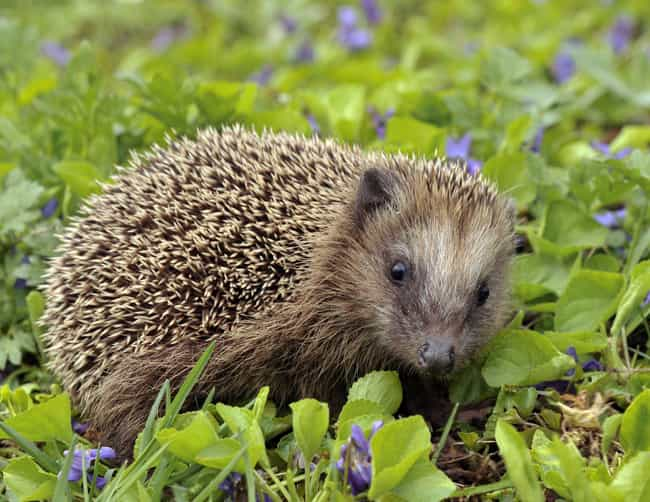 Hedgehogs Have Around 5,000 Sp... is listed (or ranked) 1 on the list Hedgehogs Are The Cutest Mammal In The Animal Kingdom