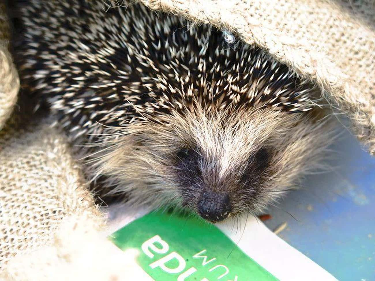 The Spines Are Made From The S is listed (or ranked) 2 on the list Hedgehogs Are The Cutest Mammal In The Animal Kingdom