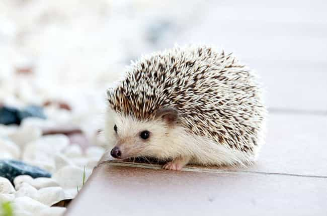 Hedgehogs Are A Popular Pet In... is listed (or ranked) 3 on the list Hedgehogs Are The Cutest Mammal In The Animal Kingdom