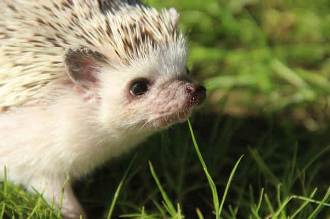 Baby Hedgehogs Are Called Hogl... is listed (or ranked) 4 on the list Hedgehogs Are The Cutest Mammal In The Animal Kingdom