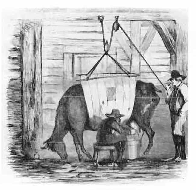 The Cows Were Forced To ... is listed (or ranked) 4 on the list In The 1850s, An Epidemic Caused By Milk Killed Nearly 8,000 Babies