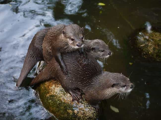 They Exhibit Potentially... is listed (or ranked) 1 on the list Terrifying Reasons Why Otters Are Not As Cute And Cuddly As They Appear