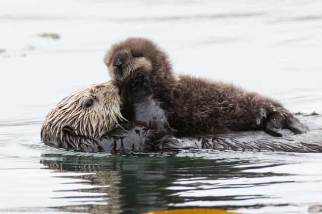 Otters Will Resort To Ex... is listed (or ranked) 2 on the list Terrifying Reasons Why Otters Are Not As Cute And Cuddly As They Appear