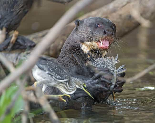 Giant Otters Are The Sec... is listed (or ranked) 4 on the list Terrifying Reasons Why Otters Are Not As Cute And Cuddly As They Appear