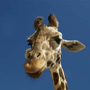 April the Giraffe is listed (or ranked) 4 on the list The Things Everyone (Including You) Googled in 2017
