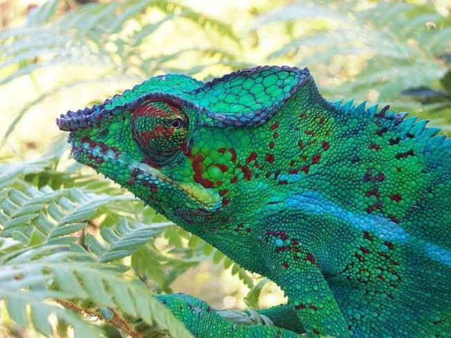 Chameleons Change Color To Hid... is listed (or ranked) 1 on the list Myths You Always Believed That Are Actually 100% False