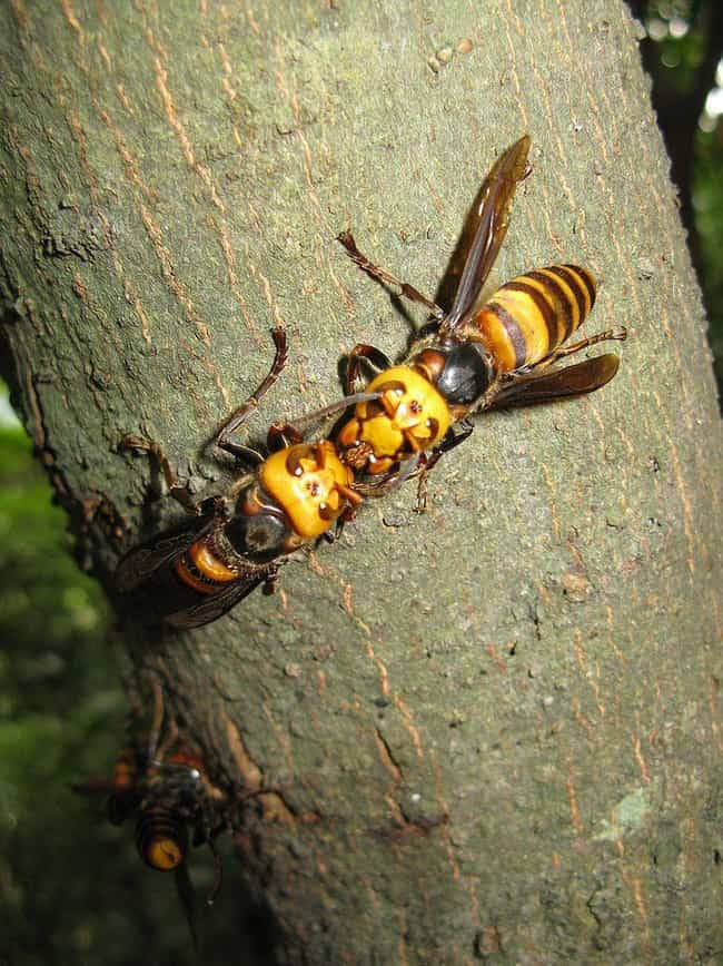 Its Venom Shuts Down Vital Org... is listed (or ranked) 3 on the list This Killer Bug Looks Like A Bee But Kills A Shocking Number Of People Every Year