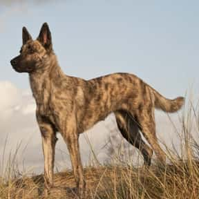 Dutch shepherd is listed (or ranked) 23 on the list The Best Dogs for Protection