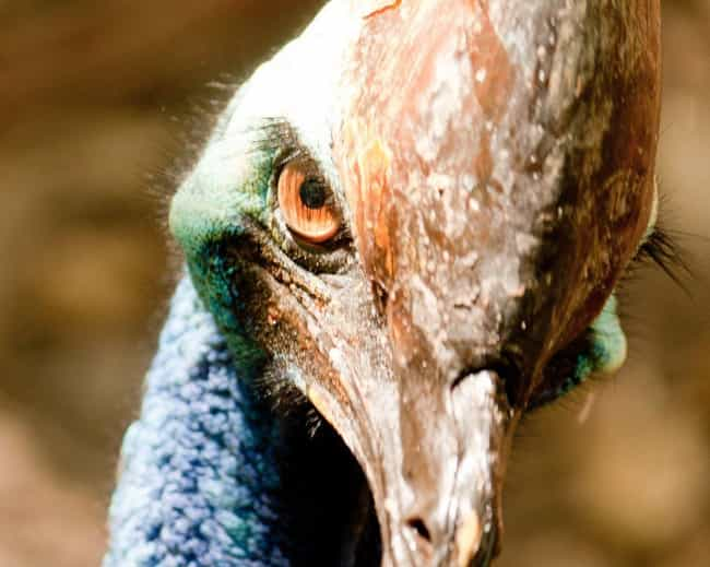 Cassowaries Can Kill Peo... is listed (or ranked) 3 on the list Bird Facts That Are Straight Up Terrifying