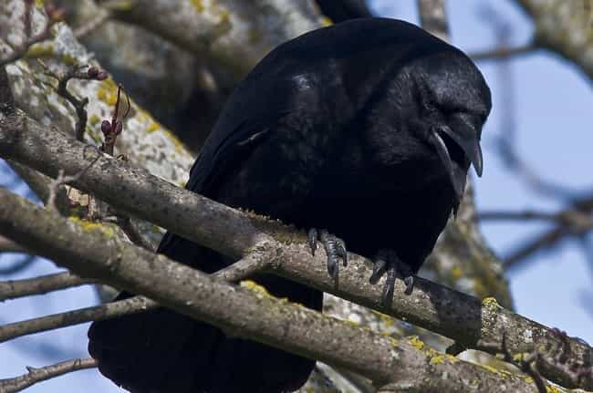 If You Mess With A Crow,... is listed (or ranked) 4 on the list Bird Facts That Are Straight Up Terrifying