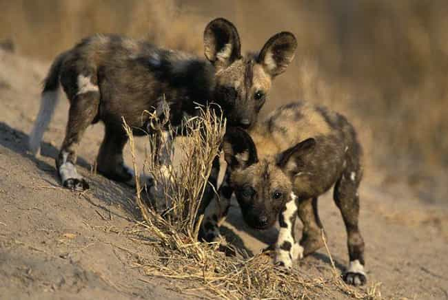 African Wild Dogs Are The Defi... is listed (or ranked) 1 on the list African Dogs Are Actually Social And Affectionate Pups, Not Bloodthirsty Killers