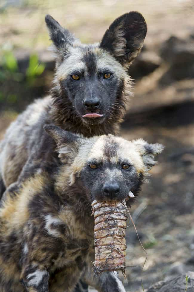 They Are Able To Break Human-M... is listed (or ranked) 2 on the list African Dogs Are Actually Social And Affectionate Pups, Not Bloodthirsty Killers