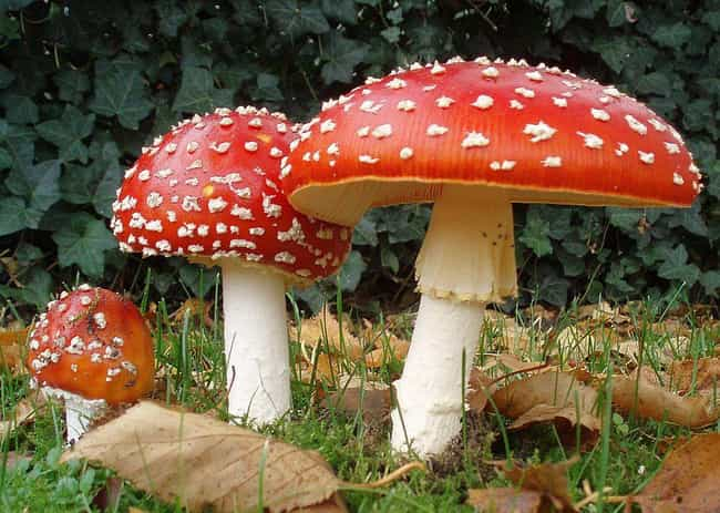 There Are Some Basic Rule For ... is listed (or ranked) 2 on the list Crazy Stories About The Dangers Of Misidentifying Mushrooms