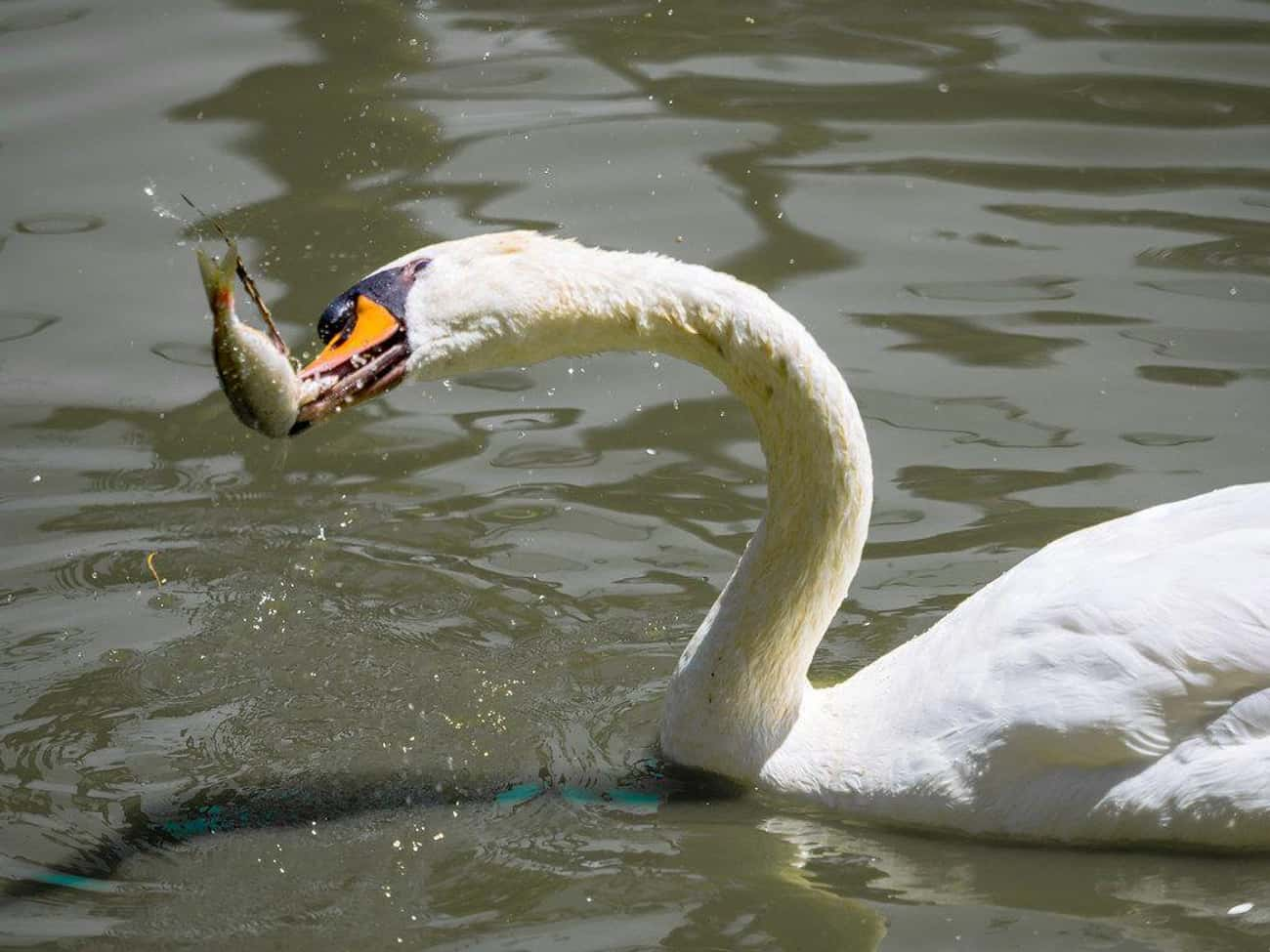 Swans Can Hurt You, But They P is listed (or ranked) 2 on the list 12 Bad (And Good) Facts About Swans You Might Not Know