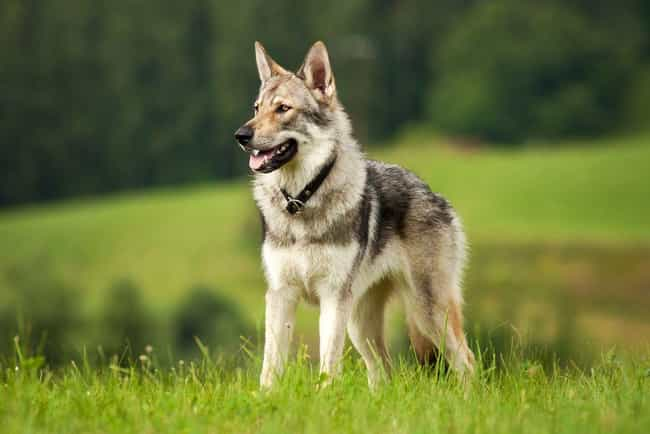 Wolf Dogs is listed (or ranked) 2 on the list Pets That Are Banned Around The World (And Why)