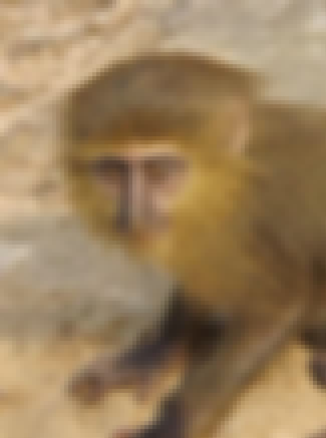 It's One Of The Few New Specie... is listed (or ranked) 2 on the list Meet The Monkey With An Oddly Human-Looking Face And A Bright Blue Booty