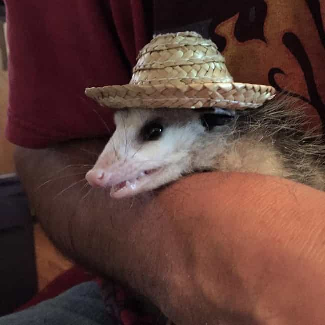 He's Got His Party Hat On is listed (or ranked) 4 on the list 19 Opossums That Are Lit