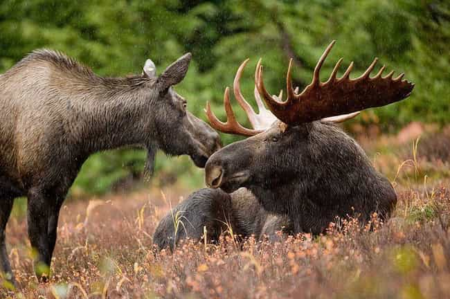 Alaska — Moose is listed (or ranked) 2 on the list The Animal Most Likely To Kill You From Each State
