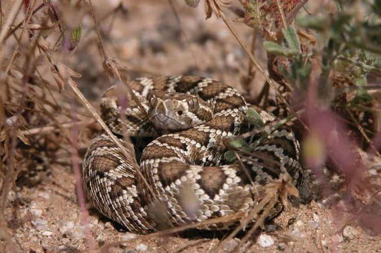 California — Several Species Of Rattlesnake