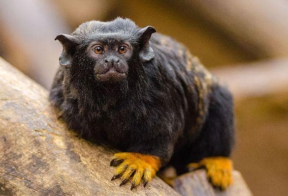 The Golden-Handed Tamarin Is Named Pretty Aptly on Random Weird Animal Feet You Have To See To Believe
