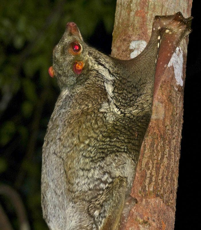Flying Lemurs' Toes Work Like Suction Cups on Random Weird Animal Feet You Have To See To Believe