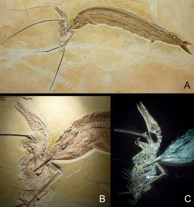 A Pterodactyl-Eating Fis... is listed (or ranked) 4 on the list The Most Bizarre Fossils Ever Discovered