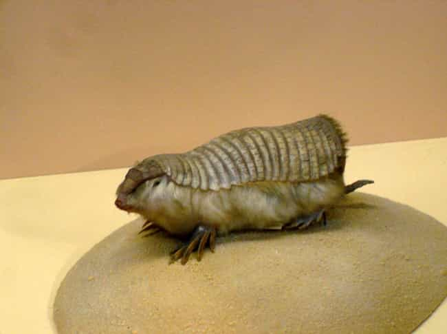 We Have No Idea If They Drink ... is listed (or ranked) 3 on the list The Pink Fairy Armadillo Is Equal Parts Adorable And Kinda Scary