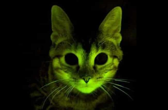 Glow Kitties is listed (or ranked) 4 on the list Insane Ways Scientists Are Genetically Modifying Animals