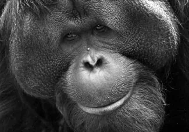 He Was A Repeat Offender is listed (or ranked) 1 on the list Ken Allen Is An Orangutan Infamous For His Daring Escapes