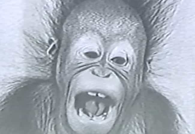 He Began His Escapes At A Youn... is listed (or ranked) 3 on the list Ken Allen Is An Orangutan Infamous For His Daring Escapes