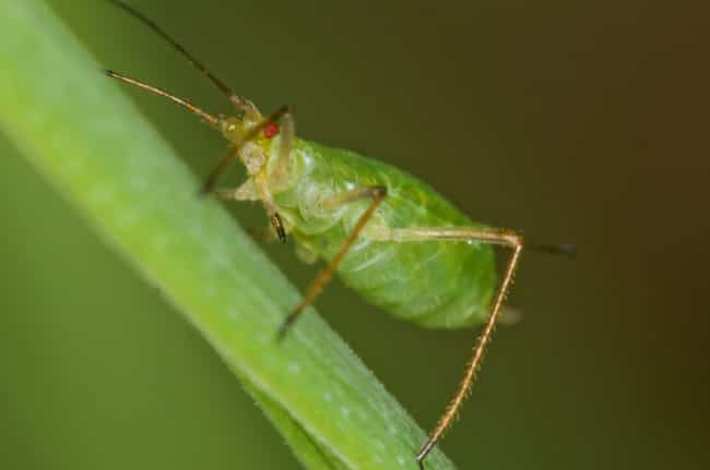 Pea Aphids Are Suicide Bombers is listed (or ranked) 2 on the list Animals That May Have Committed Suicide