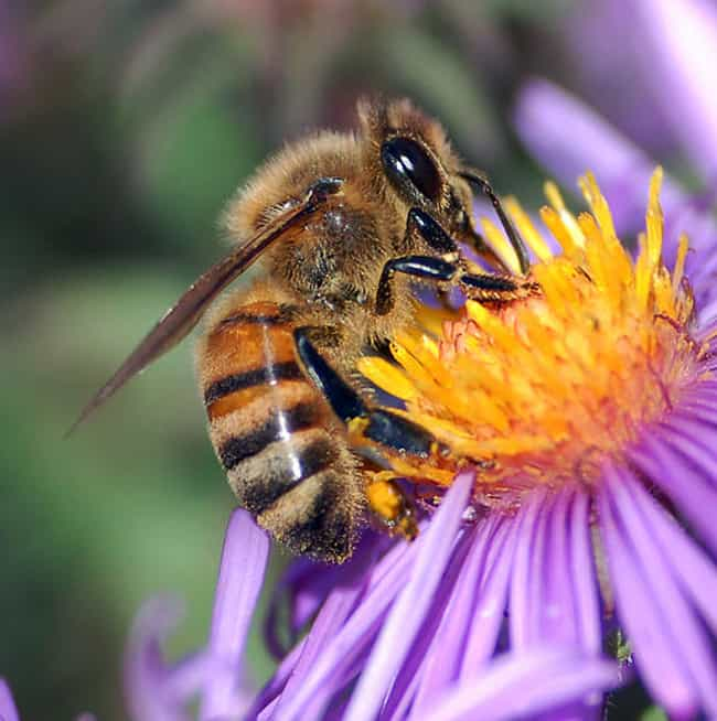 Male Honeybees Will Rupture Th... is listed (or ranked) 4 on the list Animals That May Have Committed Suicide
