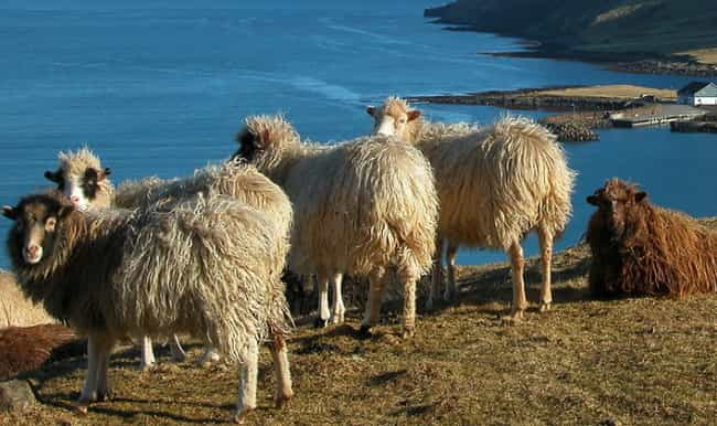1,500 Sheep Jumped From A Ledg... is listed (or ranked) 3 on the list Animals That May Have Committed Suicide