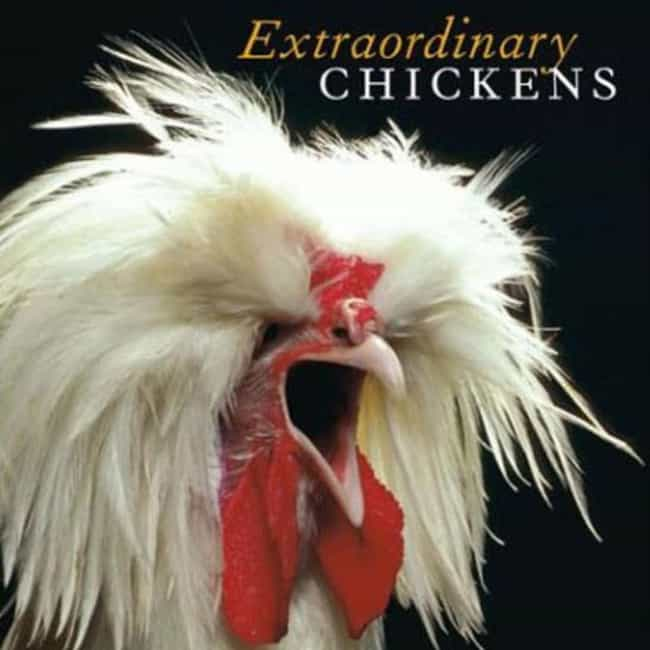 Extraordinary Chickens is listed (or ranked) 1 on the list The Funniest Coffee Table Books Money Can Buy