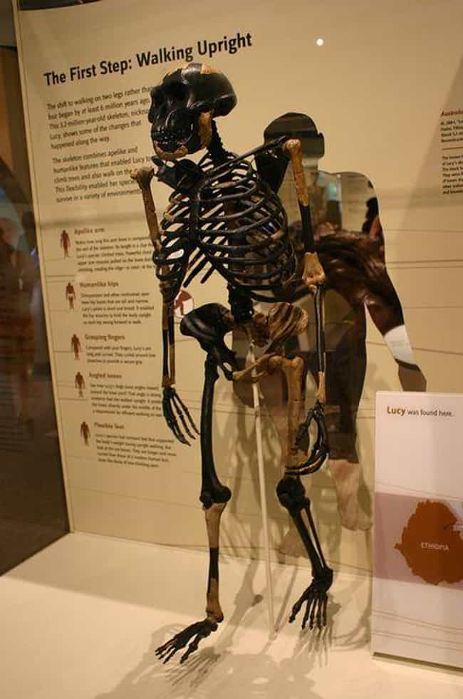 Her Skeleton Shows Evide... is listed (or ranked) 7 on the list The Story Of Lucy - A Humanoid Skeleton That Is Approximately 3.2 Million Years Old