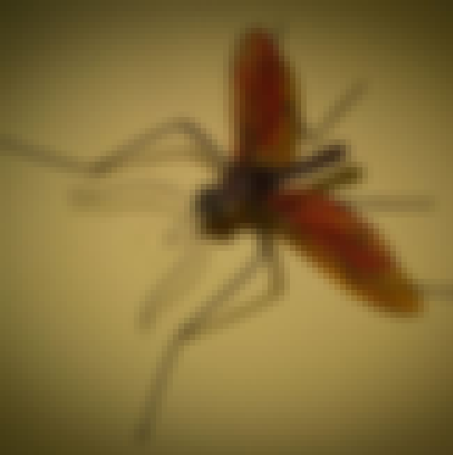 Mosquitoes Are The Most Danger... is listed (or ranked) 4 on the list Creepy Insect Facts That Will Keep You Up At Night