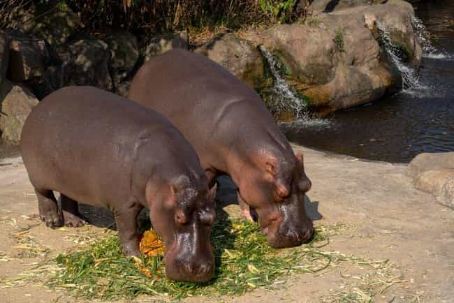 Some Locals Don't Know How To ... is listed (or ranked) 4 on the list Pablo Escobar's Hippos Are Breeding Out Of Control, And It's Becoming A Problem