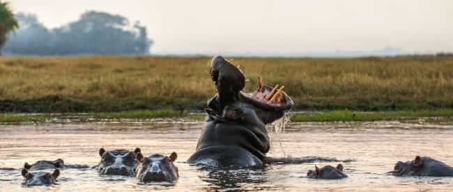 Four Hippos Have Become Many, ... is listed (or ranked) 2 on the list Pablo Escobar's Hippos Are Breeding Out Of Control, And It's Becoming A Problem